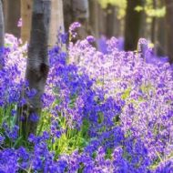 English Bluebell 100 Seeds - Britain's favourite wildflower
